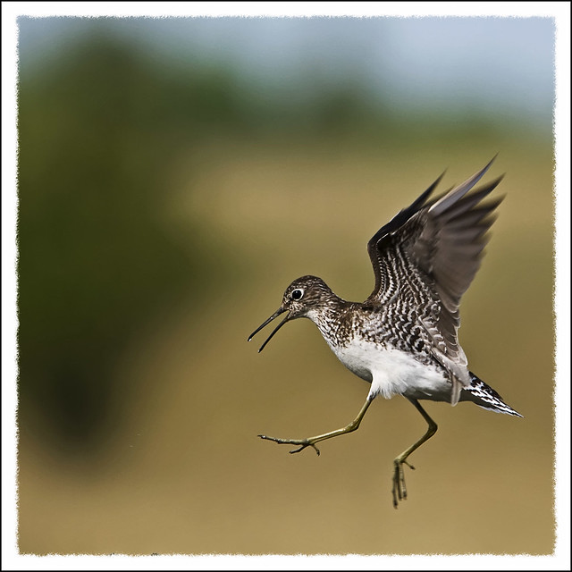 Greater Yellowlegs2