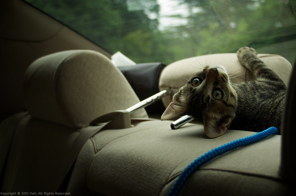 Driving with my cat #2