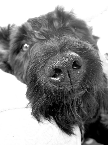 Now this IS the cutest dog on the planet, right? B&W by kirstyfish