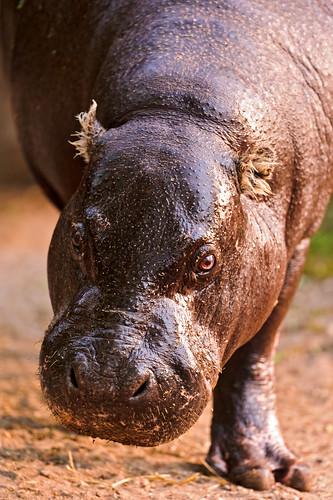 [フリー画像] 動物, 哺乳類, カバ, 201108101100