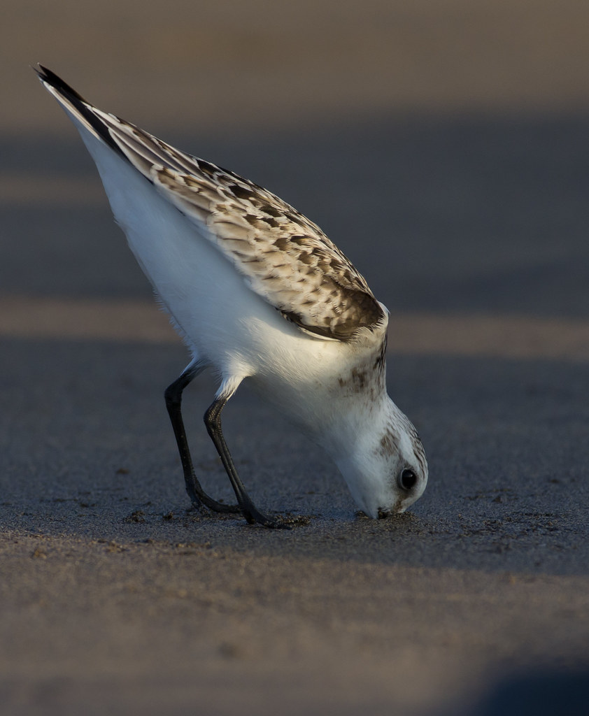 sanderling probing beach