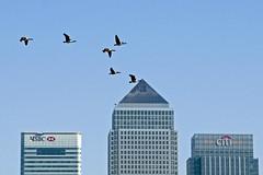 Flying South ( Freddie) Tags: london thames geese poplar canarywharf rotherhithe canadageese e14 waverley bif birdinflight se16 fjroll fjrollcom