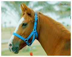 (Abdullah3n) Tags: horses canon 50mm mare saudi  ksa qassim