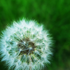 Blow!!! (Walimai.photo) Tags: macro bokeh lx5 panasonic lumix verde blanco green white dandelion