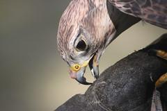 Pacific Northwest Raptor: Hawk Biting