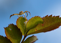 "Crab Spider spreads legs on leaf • <a style=""font-size:0.8em;"" href=""http://www.flickr.com/photos/30765416@N06/6209731436/"" target=""_blank"">View on Flickr</a>"