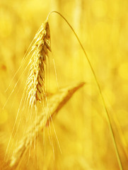 Fields of gold (cazadordesueos) Tags: wheat cereals cereales trigo wheatfields espigas goldenlight colorvariations earsofwheat luzdorada summerdreams feelthewind camposdetrigo variacionesdecolor bathedinthesun bokelicioso baadoporelsol sienteelviento sueosdeverano