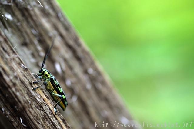ハンノアオカミキリ [Eutetrapha chrysochloris]