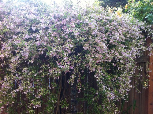 part of the wall of scent: jasmine in full bloom