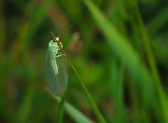 Meadowlands (Paul:Ritchie) Tags: macro green nature animals bokeh wildlife insects hampshire bugs lacewing invertebrates neuroptera sigma105mmmacro chrysoperlacarnea nikond90 paulritchie