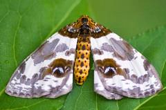 Abraxas miranda miranda Moth (aeschylus18917) Tags: macro nature japan insect nikon g moth  lepidoptera micro geometridae  nikkor f28 vr pxt abraxas  105mm insecta 105mmf28 pterygota geometermoth neoptera endopterygota macrolepidoptera 105mmf28gvrmicro geometroidea d700 nikkor105mmf28gvrmicro   abraxasmiranda danielruyle aeschylus18917 danruyle druyle   abraxasmirandamiranda