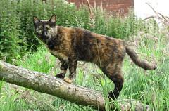 Jaunty Jeeves (Verna Jarrett) Tags: summer cats tree green grass cat garden log kat chat tortoiseshell gato trunk katze tortie macska gatto kot kedi katt kissa jeeves pisica g10