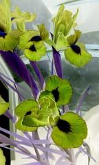 Solarized iris (YAZMDG (16,000 images)) Tags: leaves mobile moss seeds fungi desire negative bark nsw lichen solarized fone android pods posterized florafauna greyscale yaz htc northernrivers yazminamicheledegaye yazmdg a8183 htcdesirea8183 hrcdesirea8183 ystudio