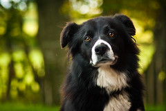 [Free Image] Animals, Mammalia, Dog, Border Collie, 201107131100