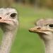 Avestruzes curiosos