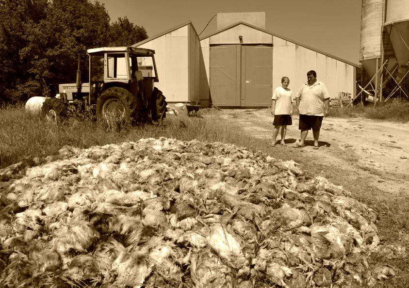 poulets d'un élevage industriel morts de chaleur fin juin 2011, comme en juin 2003 météopassion