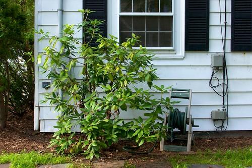 Rhodie after pruning