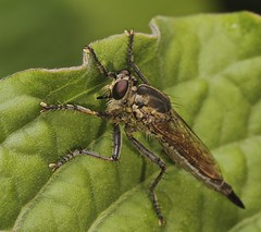 IMG_4361 tiny robber fly (Troup1) Tags: macro nature insect thailand fly robberfly diptera