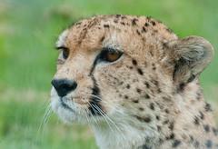 Cheetah Stare (Matt_Daniels) Tags: cheetah