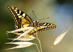 i CaN't SaY  nO to a ButTeRfLy.........AgAiN............... (Ilias Orfanos) Tags: flower macro yellow closeup butterfly dof bokeh olympus swallowtail swallowtailbutterfly patras grrece platinumheartaward tripleniceshot mygearandmeplatinum ringexcellence dblringexcellence artistoftheyearlevel3 artistoftheyearlevel4 flickrstruereflection1 flickrstruereflection2 flickrstruereflection3 flickrstruereflection4 flickrstruereflection5 flickrstruereflection6 flickrstruereflection7