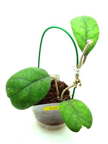 Hoya deykeae (IML 1185)