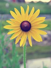 {171/365} Comme un soleil (Kap-) Tags: summer flower fleur 365 t
