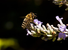 Deposit (FVDB Photography) Tags: macro nature bug insect bee pollen insekt animalia arthropoda biene apis pollination 105mm hymenoptera insecta honigbiene apismellifera apidae honeymaker amellifera westernhoneybee westlichehonigbiene nikkor105mmf28gvrmicro europischehonigbiene littlebigworlds