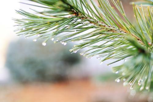 03/16/11 pine