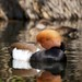 Red-Crested Pochard (2)