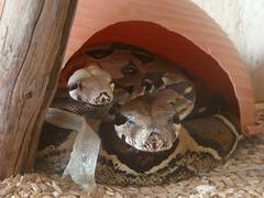 Boa Constrictor (Männchen und Weibchen)