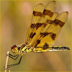 _ALJ1113 web (alj70) Tags: dragonfly michigan okemos halloweenpennant northmeridianroadpark