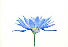 2011_07_09_blue lotus_04 (blue_belta) Tags: blue pencil lotus drawing colored ブルー 青 アート お盆 bluelotus ブルーロータス 蓮 花 色鉛筆 青い蓮