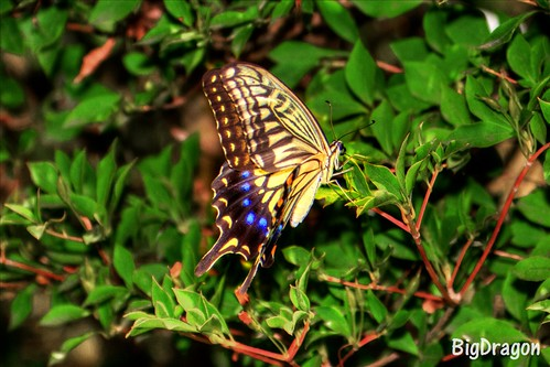 HDR Swallowtail butterfly