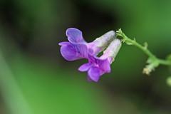 新治市民の森の花(Flower, Niiharu Community Woods, Yokohama, Japan)