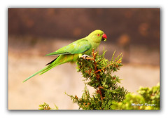 With Mouth Full (mikyn) Tags: naturaleza nature birds wildlife parrots mikyn