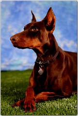 Doberman Gallery from FamilyDobes Ruby head shots (4) (FamilyDobes) Tags: puppy puppies european doberman pinscher pincher dobermann