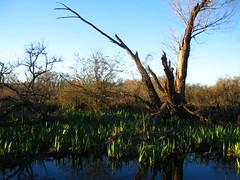 "ARN ""vista"" | San Isidro (j0z) Tags: canon arbol natural pantano powershot reflejo reserva sanisidro arn ecologica lirioamarillo"