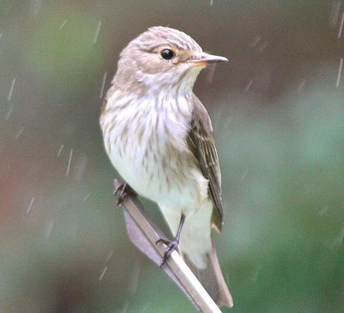 Spotted Flycatcher (3)