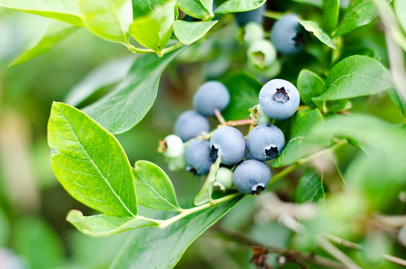 Blueberry Picking Pt 17