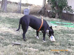 How do I get the bottom (Lonnie's Life) Tags: pets dogs peanutbutter pitbulls