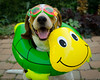 Take me to the pool! (Paguma / Darren) Tags: dog pool toy cool goggles hound uncool floyd cool2 cool3 cool4 uncool2 uncool3 uncool4 uncool5 uncool6 uncool7