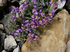 Linaire des Alpes=Linaria alpina - Aravis 026