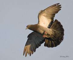 Pigeon practice (Brian Kirksey) Tags: rock nikon pigeon d300