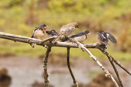 Barn Swallows with House Finch