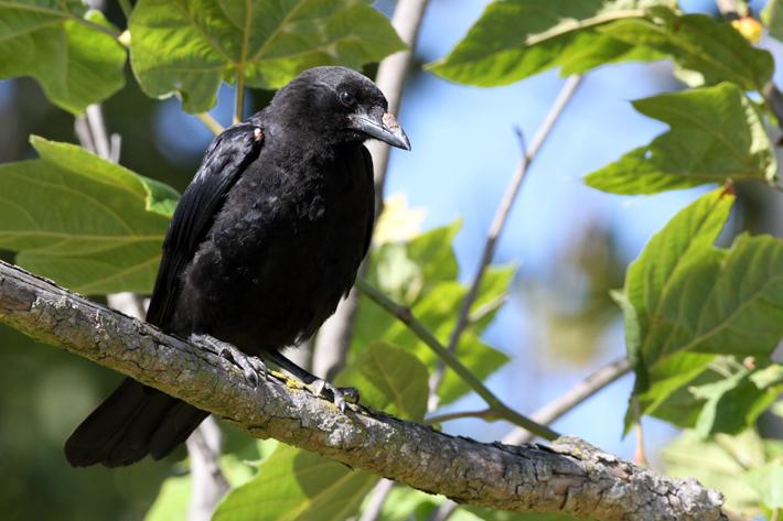 072311_crow