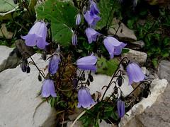 Campanule naine=Campanula cochleariifolia - Col des Aravis 030