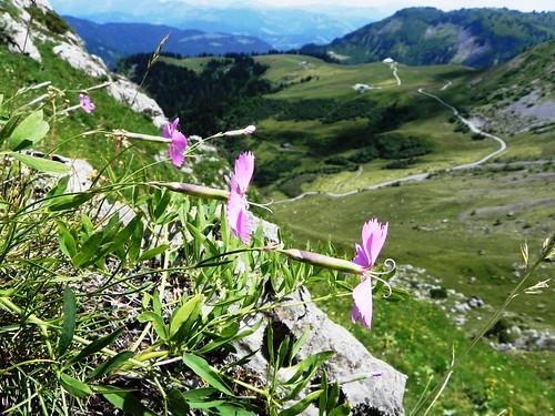Oeillet des rochers=Dianthus sylvestris - Aravis 027