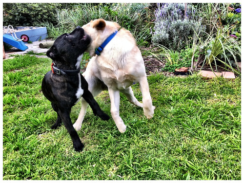Clay and Lola have a doggy playdate. Day 243/365.