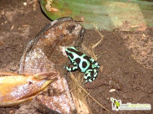 Frog in Tortuguero