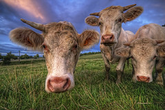 We Don't Know You (Philippe Saire || Photography) Tags: 3 france nature field grass animal canon eos cow champs meadow sigma wideangle explore 7d prairie 1020mm frontpage campagne hdr franchecomt vache gettyimages herbe photomatix philippesaire